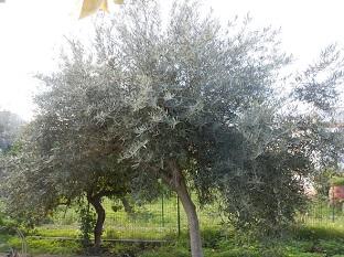 Olivo9