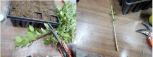 Operazioni di eliminazione delle foglie basali dalla talea