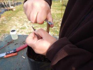 Operazioni di rifinitura del nesto (portinnesto) prima dell'innesto con uso di coltello