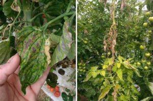 Effetti della peronospora su piante di pomodoro